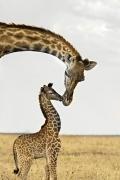 giraffa-natura