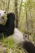 panda-sfondo